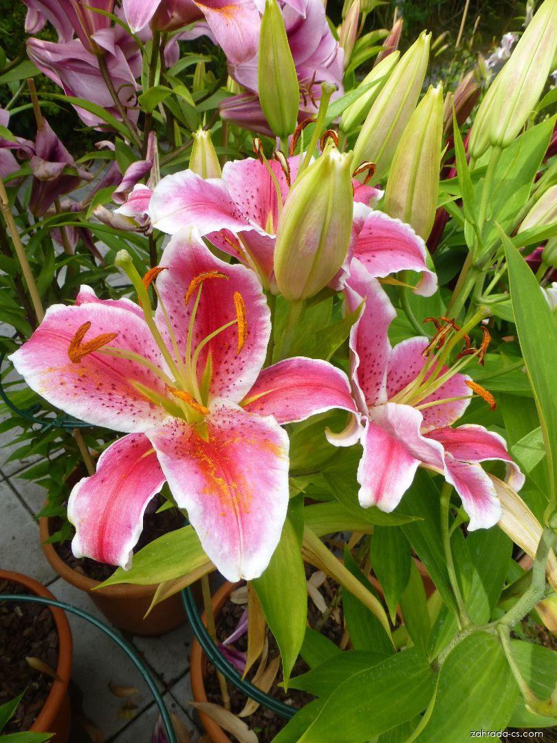 Lilie - Lilium x hybridum La Mancha