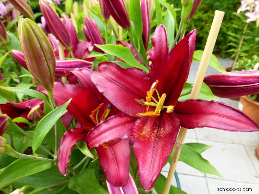 Lilie - Lilium x hybridum Firebolt