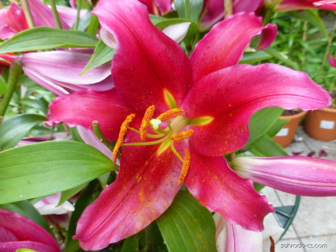 Lilie - Lilium x hybridum Bacardi