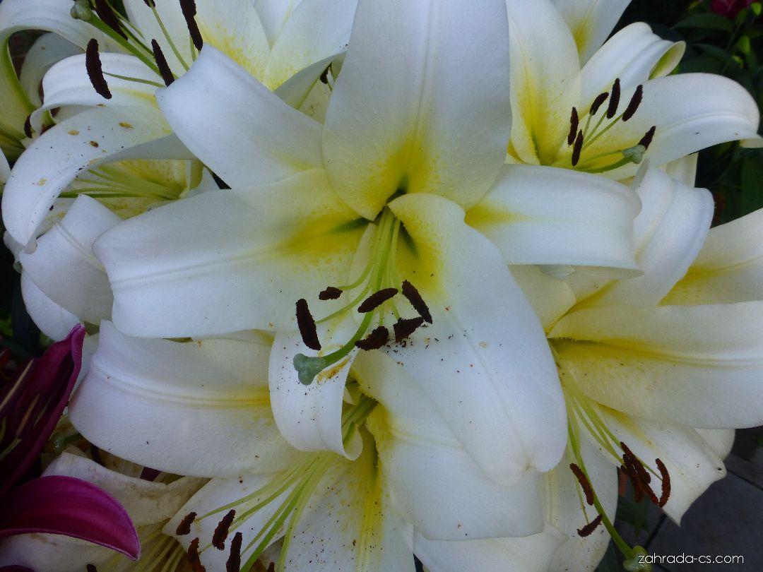 Lilie - Lilium x hybridum Luson