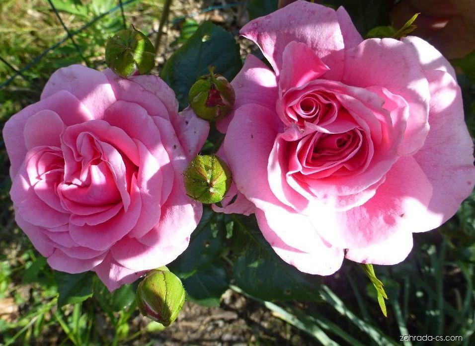 Růže - Rosa Dornröschenschloss Sababurg