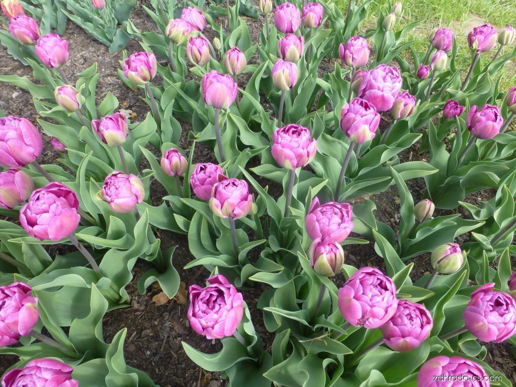 Tulipán - Tulipa Blue Diamond