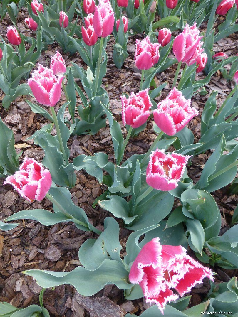 Tulipán - Tulipa Bell Song