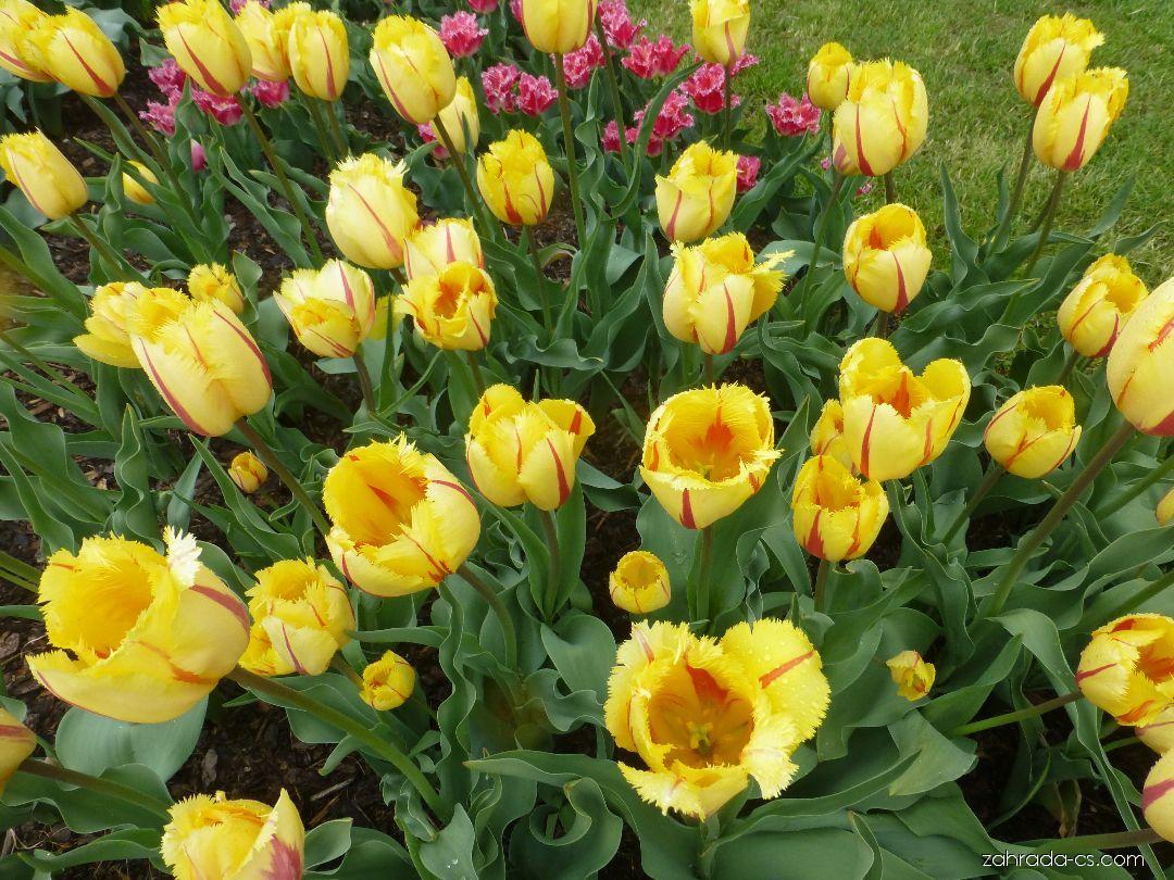 Tulipán - Tulipa Flamenco