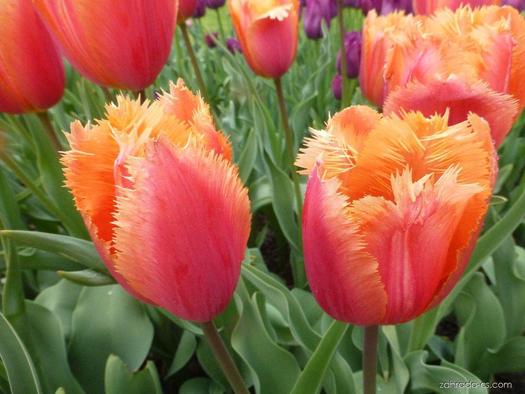 Tulipán - Tulipa Lambada