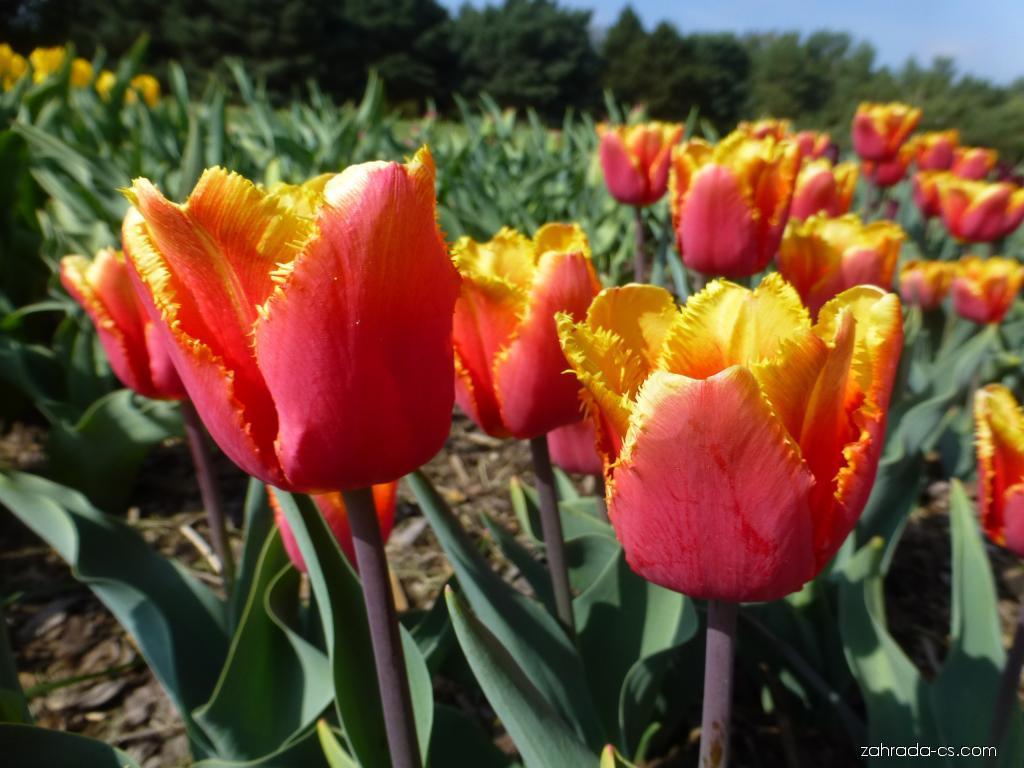 Tulipán - Tulipa Palmares