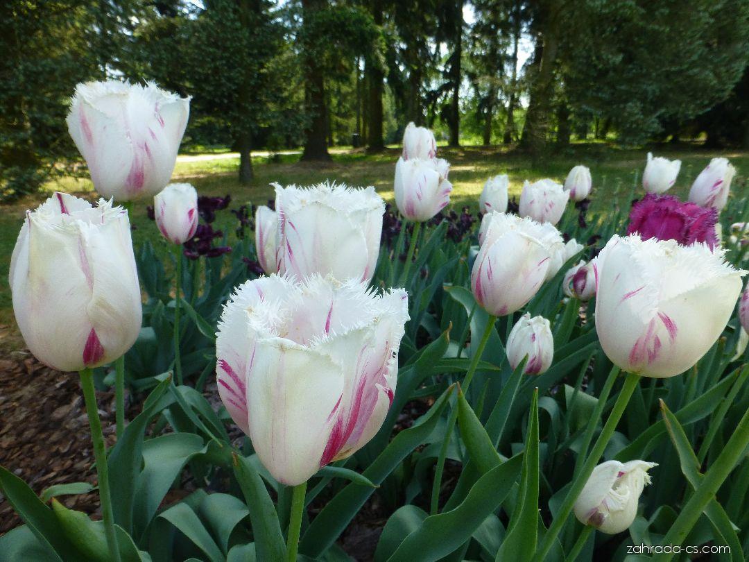 Tulipán - Tulipa Carrousel