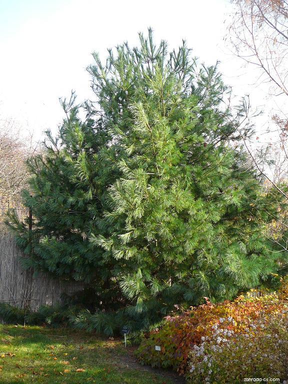 Borovice Armandova (Pinus armandi)
