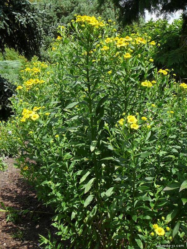 Záplevák zahradní (Helenium x hybridum)