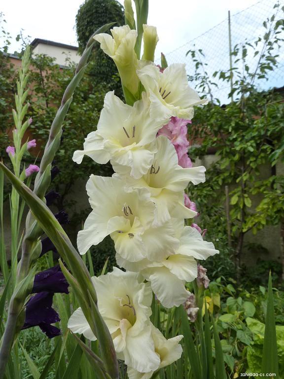 Gladiola - květ (Gladiolus)