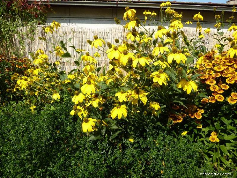 Třapatka Goldquelle (Rudbeckia laciniata)