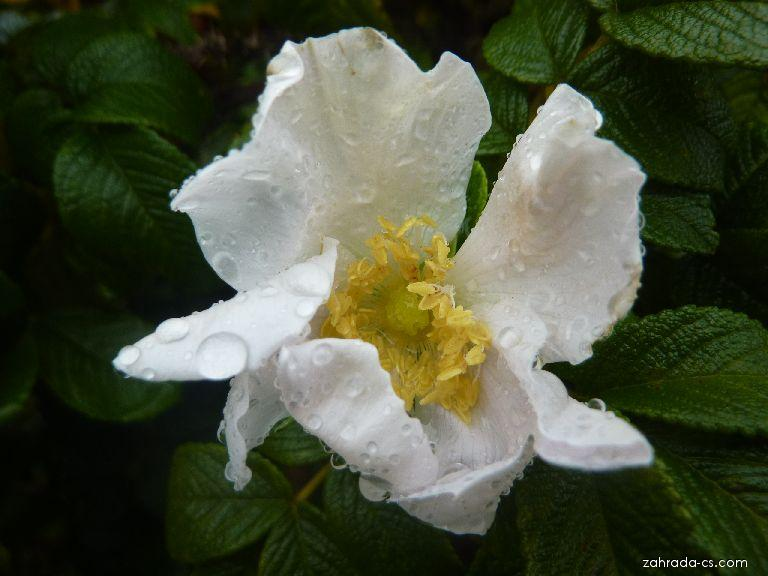 Růže svraskalá - květ (Rosa rugosa)