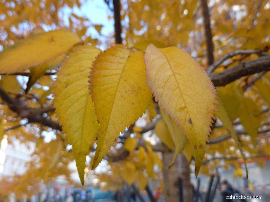 Třešeň ozdobná (Prunus serrulata)