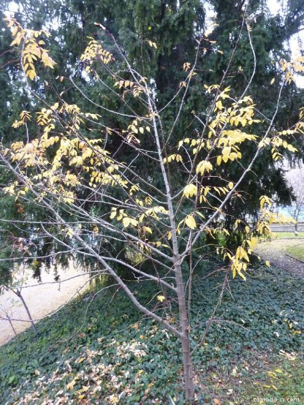 Žlutodřev americký (Zanthoxylum americanum)