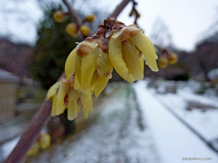 Zimnokvět časný - květ (Chimonanthus praecox)