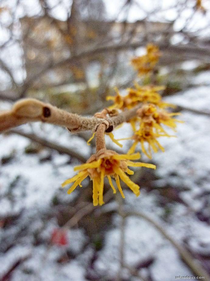 Vilín jarní - Hamamelis vernalis