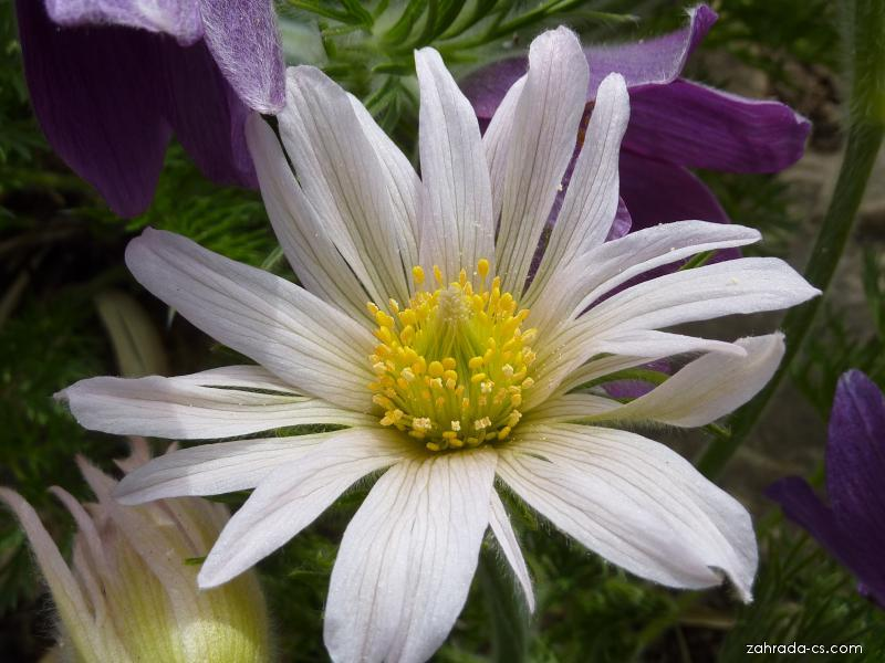 Koniklec velkokvětý - květ (Pulsatilla grandis)