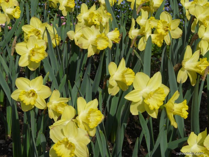 Narcis (Narcissus)