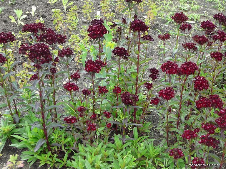 Hvozdík vousatý - Dianthus barbatus