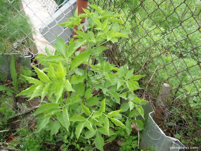 Bez černý - jednoletý, květen 2010 (Sambucus nigra)