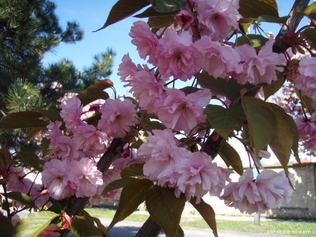 Sakura ozdobná - Prunus serrulata