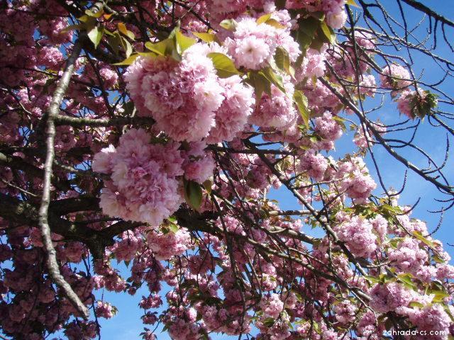 Sakura ozdobná (Prunus serrulata)