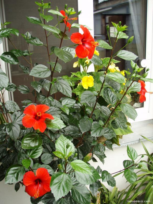 Ibišek čínská růže (Hibiscus rosa sinensis)