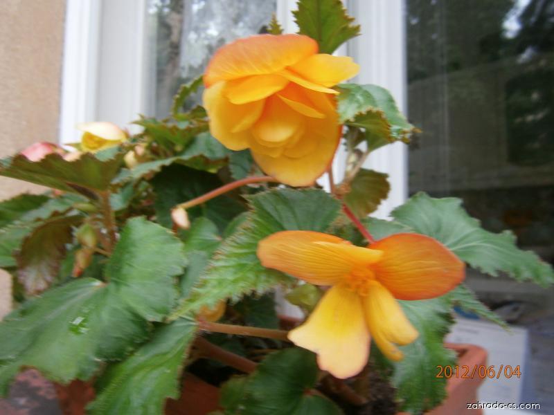 Begonie hlíznatá (Begonia)