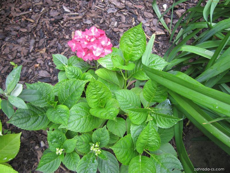 Hortenzie (Hydrangea)