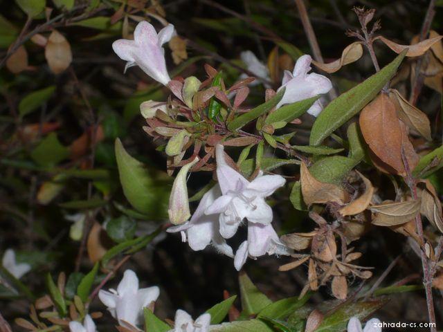 Abelie čínská detail (Abelia chinensis)