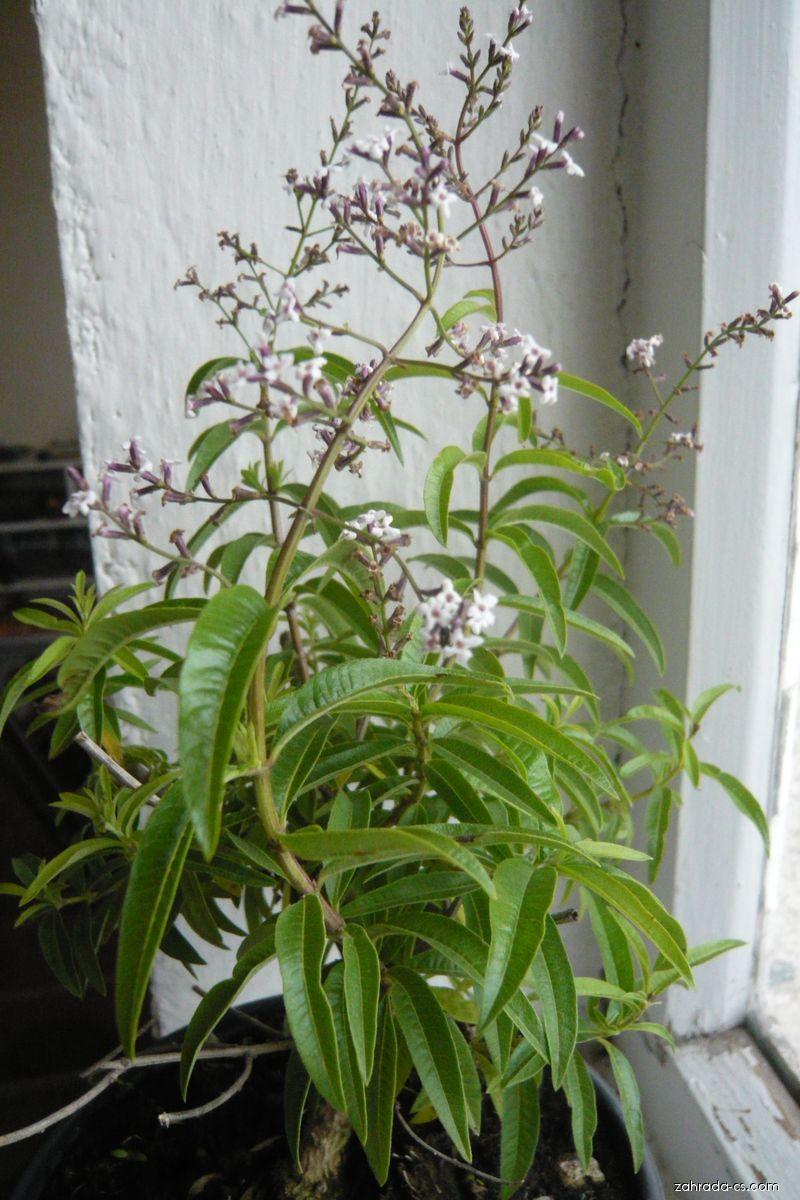 Aloisie trojlistá (Aloysia triphylla)