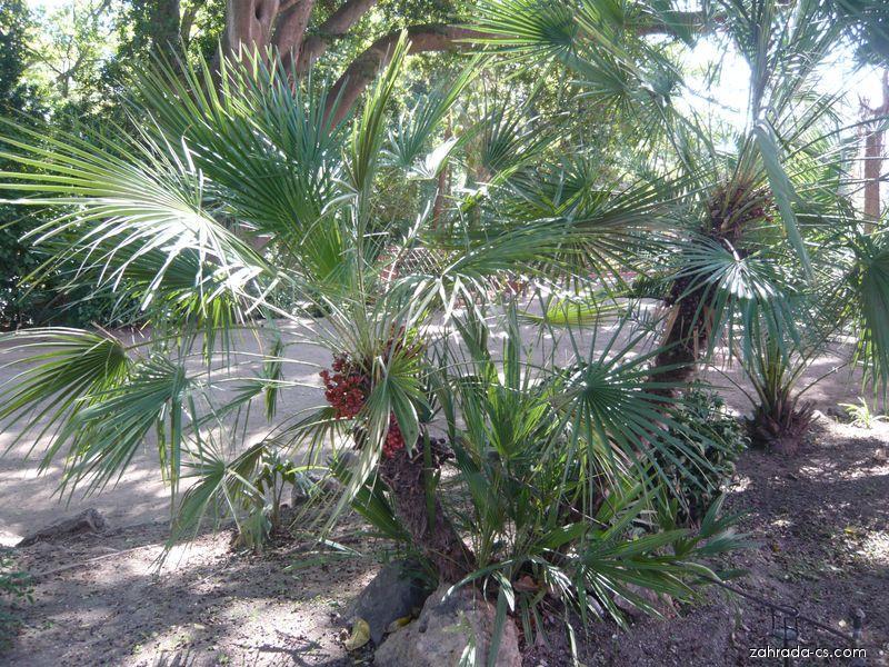 Žumara nízká, palma nana, plody (Chamaerops humilis)