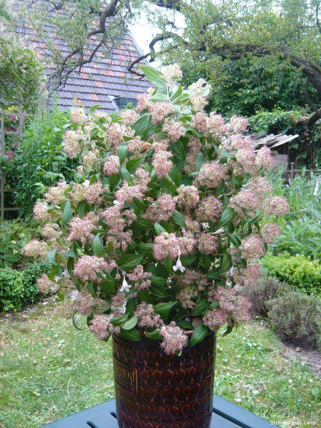 Kolkwitzie krásná - plody (Kolkwitzia amabilis)