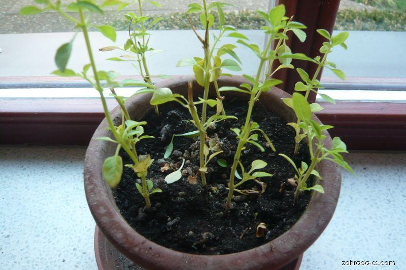 Bazalka pravá, mladé sazeničky (Ocimum basilicum)