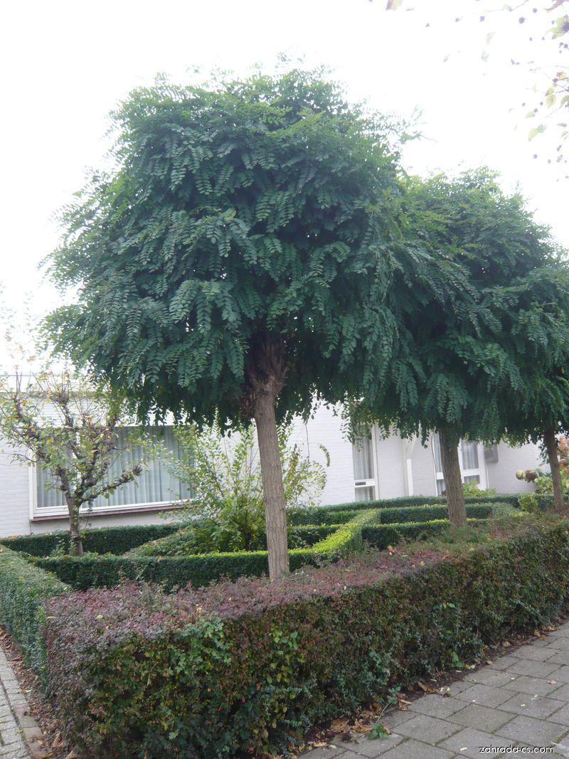 Akát Umbraculifera (Robinia pseudoacacia)