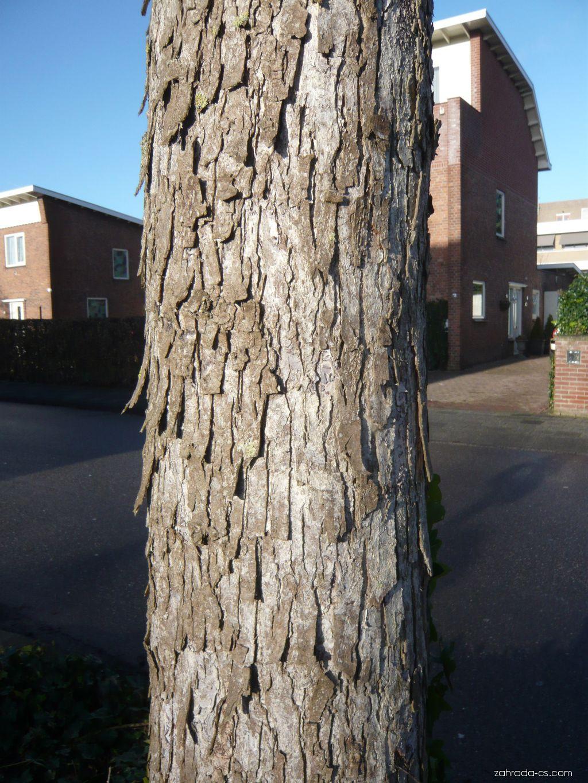 Líska turecká, kůra (Corylus colurna)