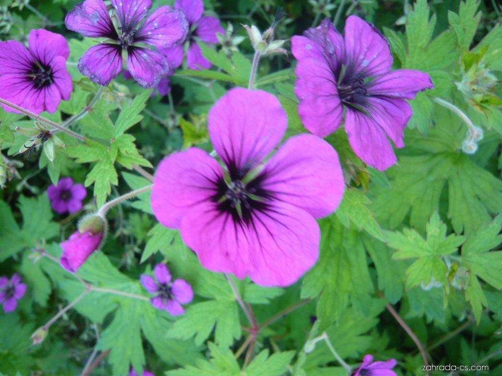 Kakost Patricia (Geranium)