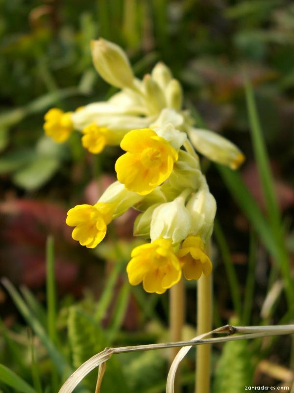 Prvosenka jarní, petrklíč (Primula veris)