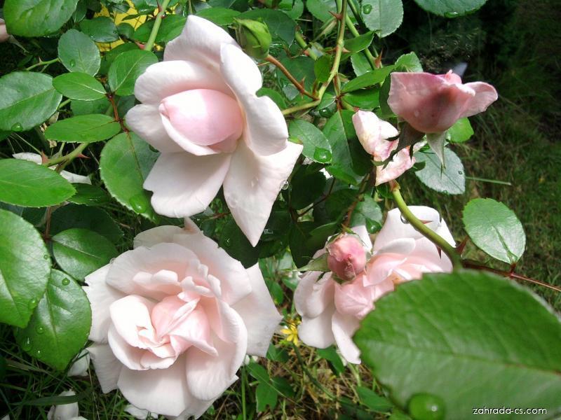 Růže - pnoucí, velmi stará (Rosa)