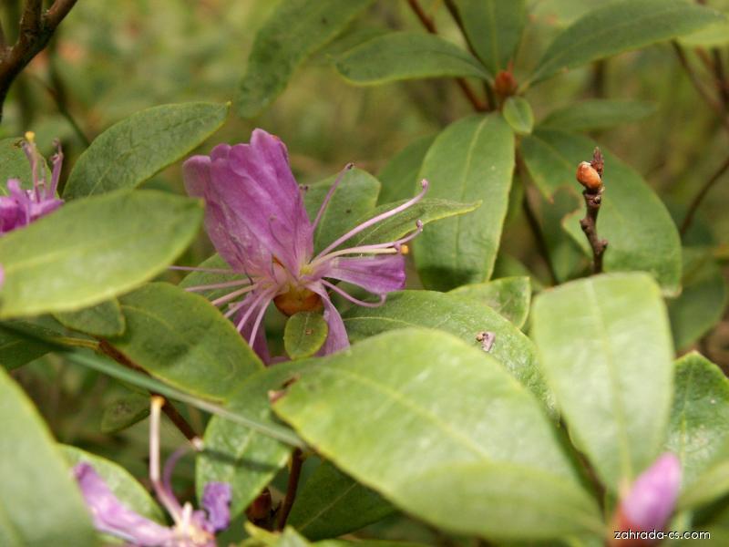 Azalka (Azalea)