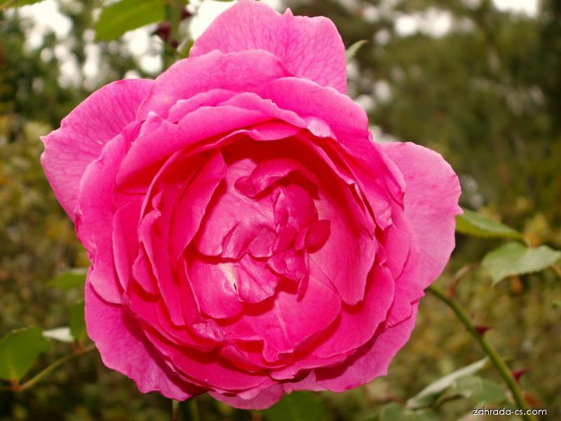 Růže - velkokvětá velmi stará (Rosa)
