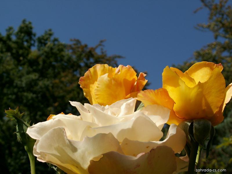 Růže - velkokvětá Golden medal (Rosa)