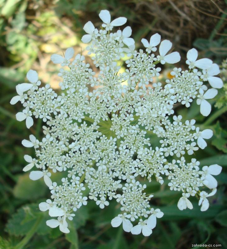 Ainsworthia (Ainsworthia trachycarpa)