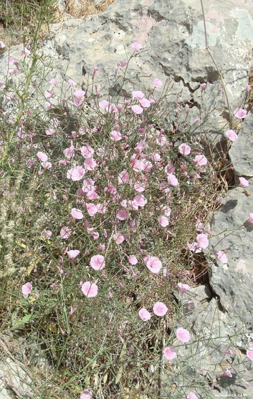 Svlačec (Convolvulus dorycnium)