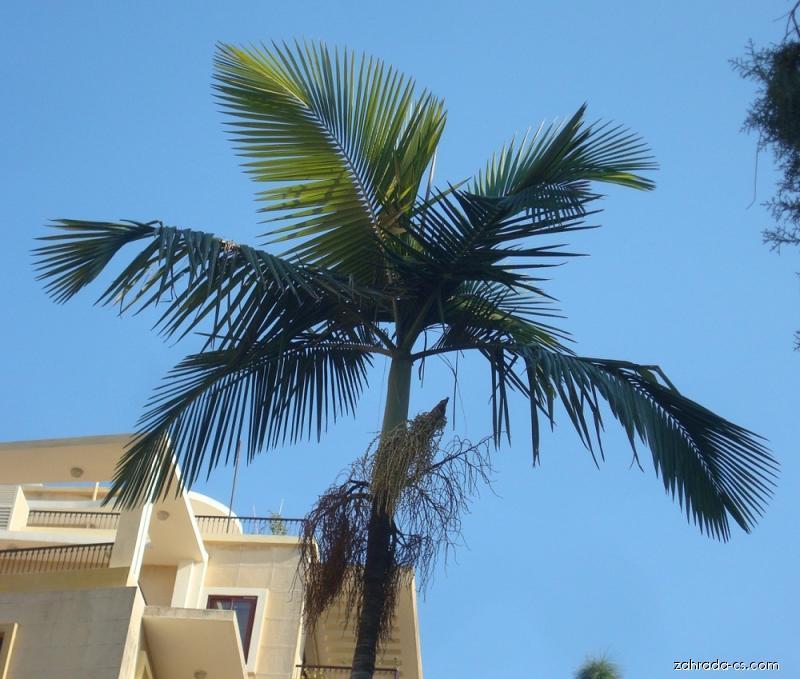 Palma (Archontophoenix alexandrae)