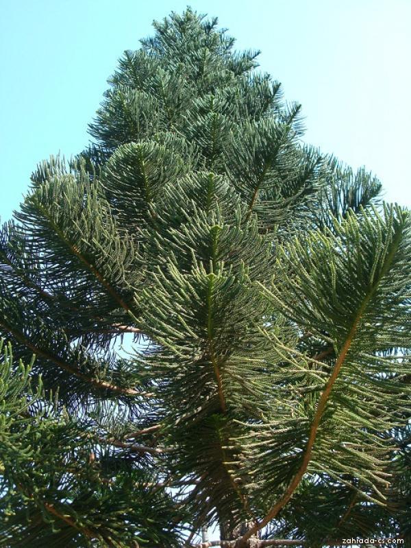 Blahočet (Araucaria columnaris)