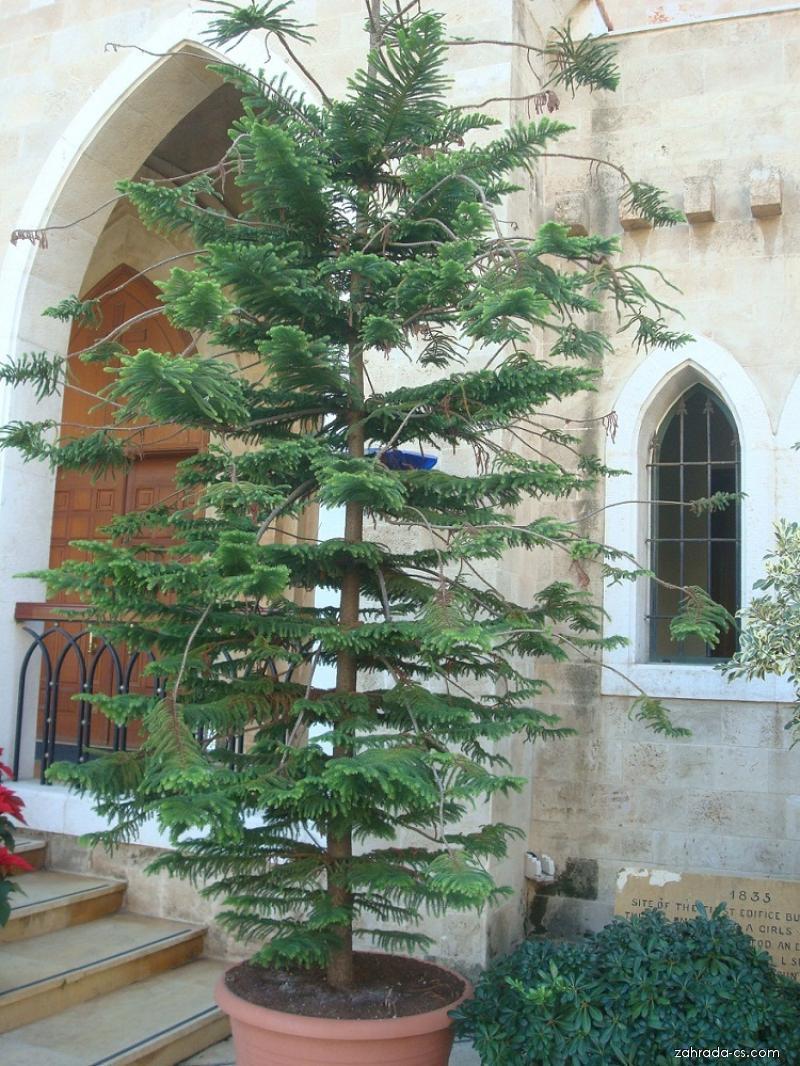 Blahočet (Araucaria cunninghamii)