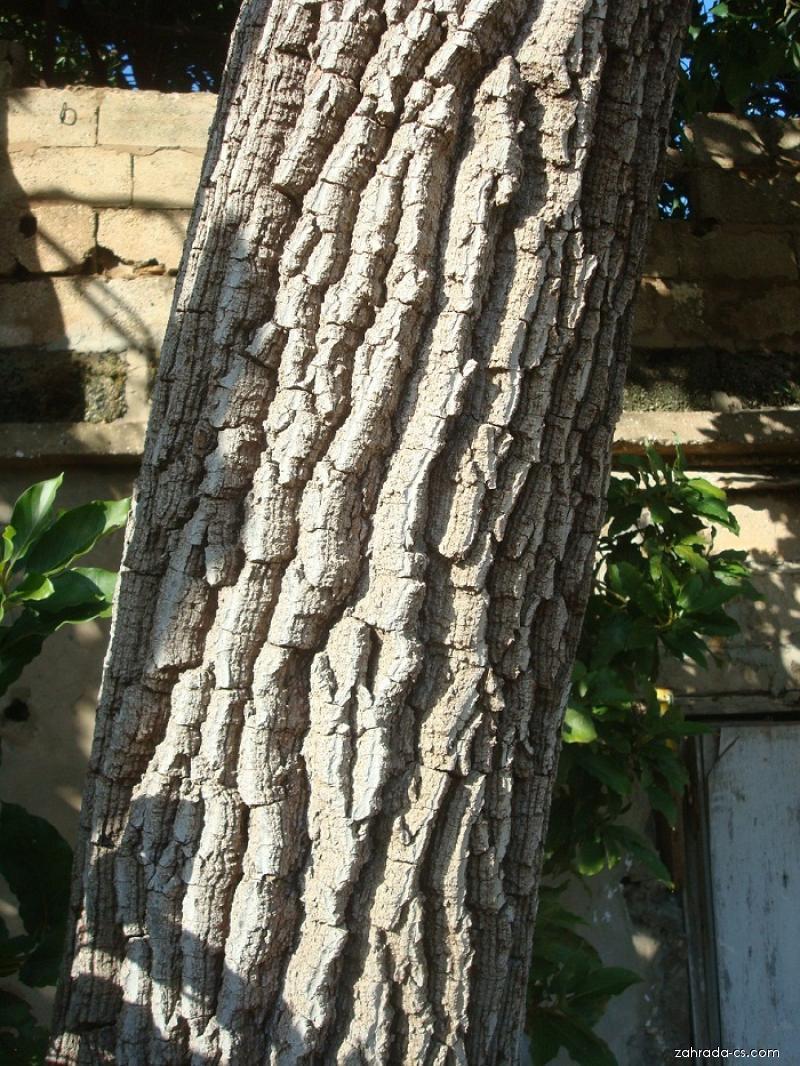 Avokádo - Hruškovec přelahodný (Persea americana)