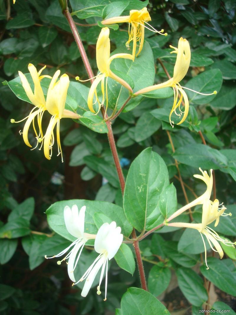 Zimolez japonský (Lonicera japonica)