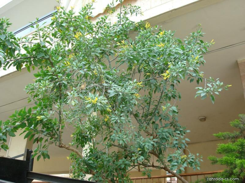 Tabák sivý (Nicotiana glauca)